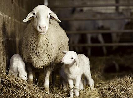 Risultati immagini per Le pecore e gli agnelli